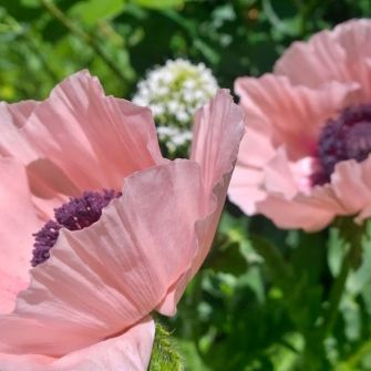 the perfect pink poppy
