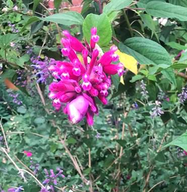 delightful Salvia