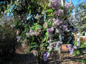 budding buddleia