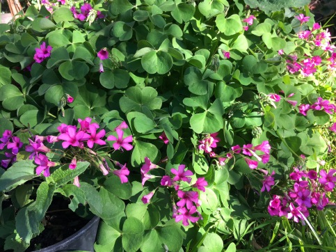 even the weeds are lovely