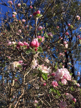 more apple blossom