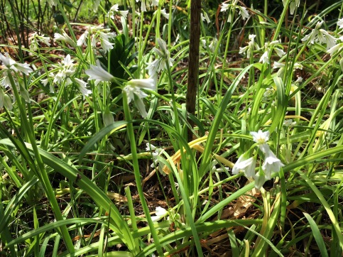 wild onion flower, our fave Spring salad ingredient