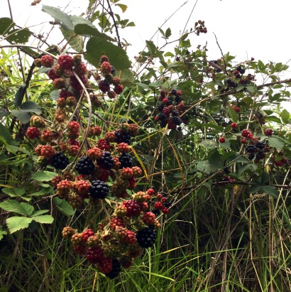 blackberry season